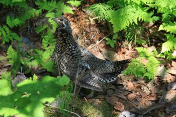 Inhabiting boreal forest the Alaskan spruce grouse resembles the Polish partridge (photo by Sebastian R. Bielak)