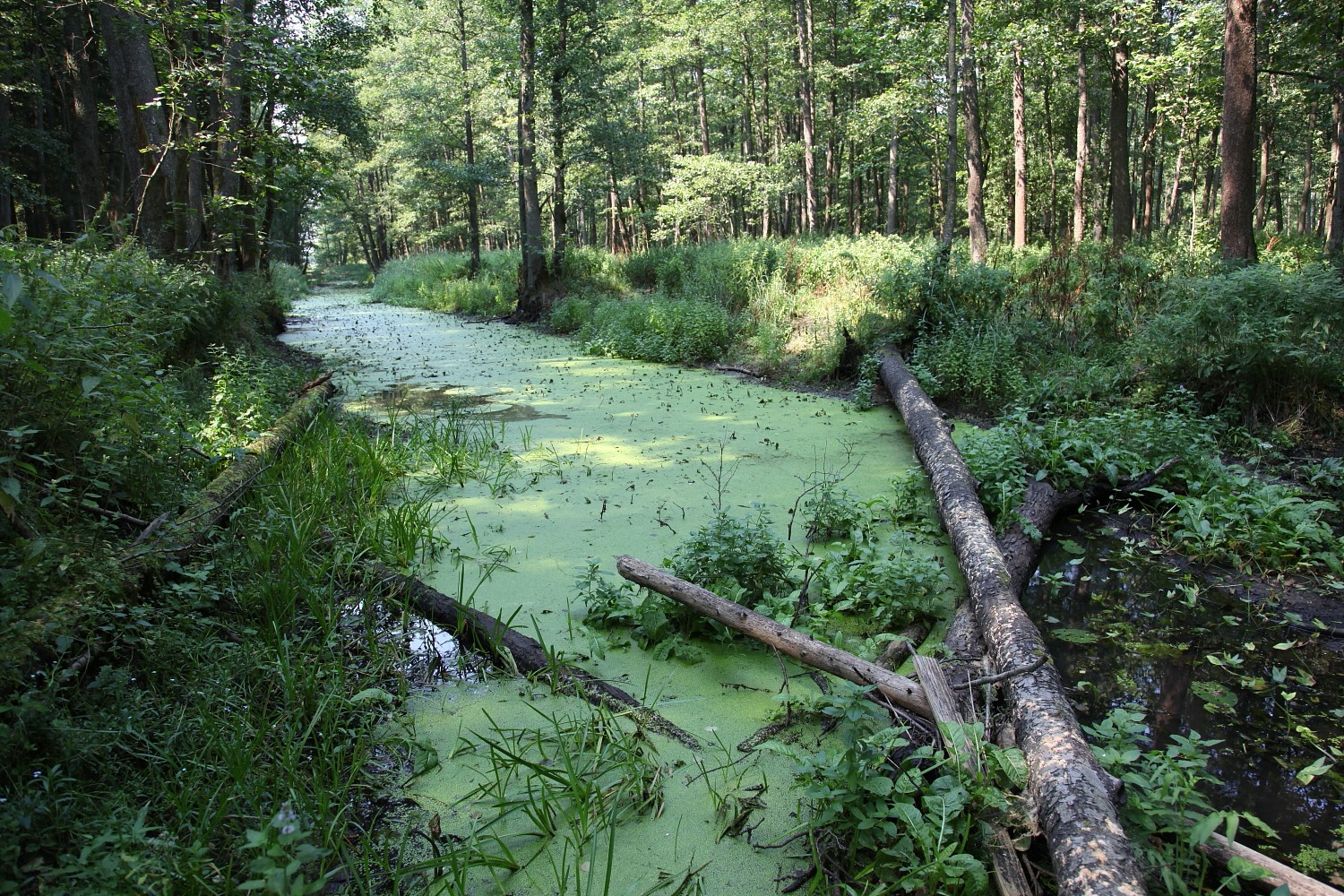 In the Bialowieza Primeval Forest there is a lot of small sylvan rivers and creeks (photo by Sebastian R. Bielak)